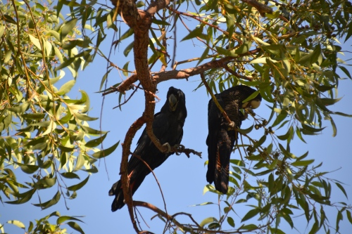 Australia, Perth King's Park black cockatoos