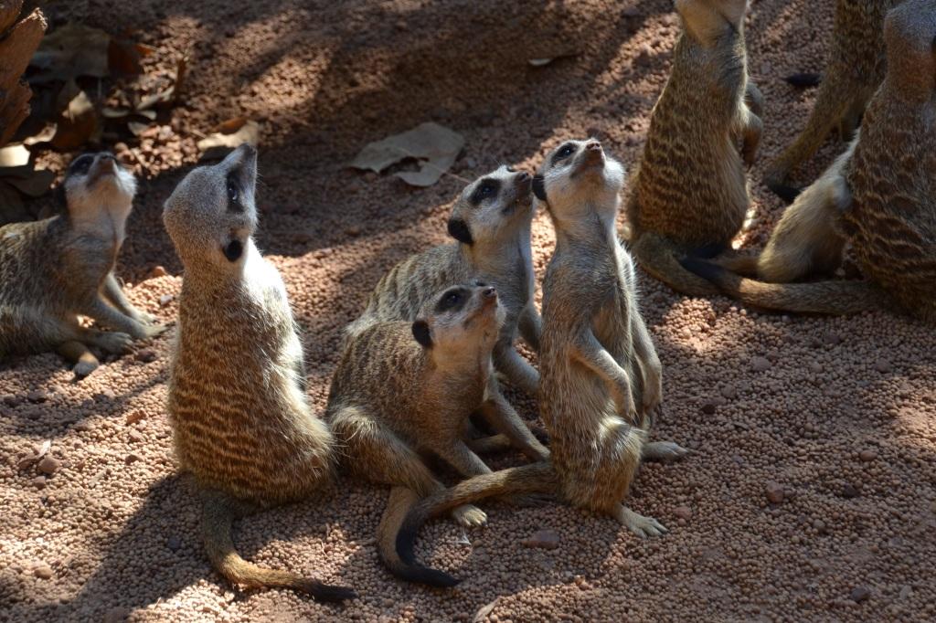 Australia, Perth Zoo meerkats