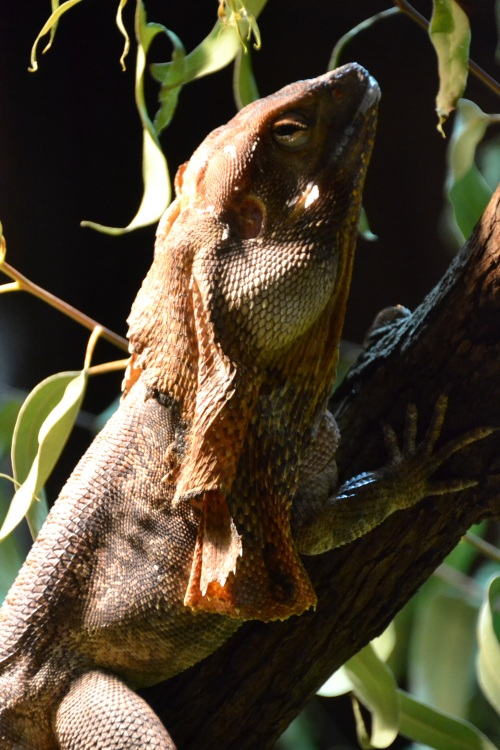 Australia, Perth Zoo frill neck lizard