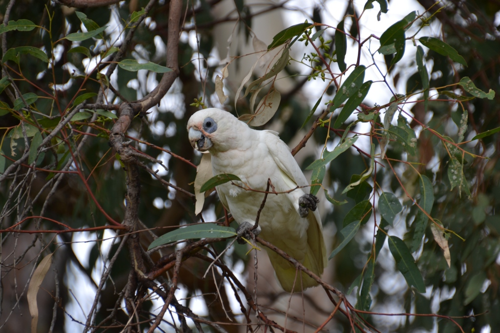 Australia, Perth Peninsula Tea Garden white cockatoo