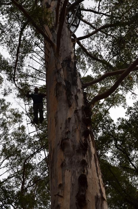 Australia, giant tingle tree climb