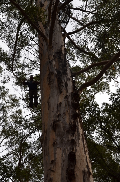 Australia, giant tingle tree climb