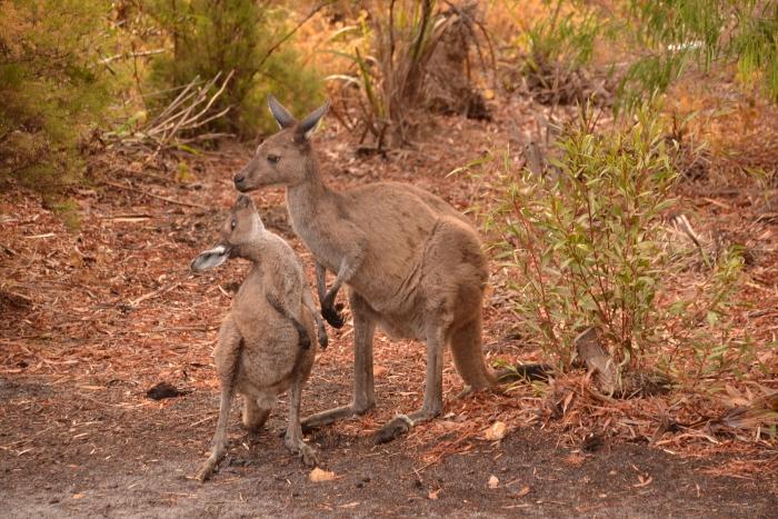 Australia, kangaroos camping