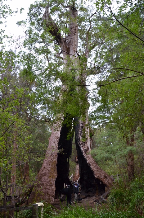 Australia, giant tingle tree