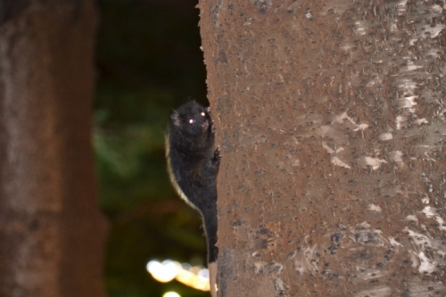 Australia, ring tailed possum