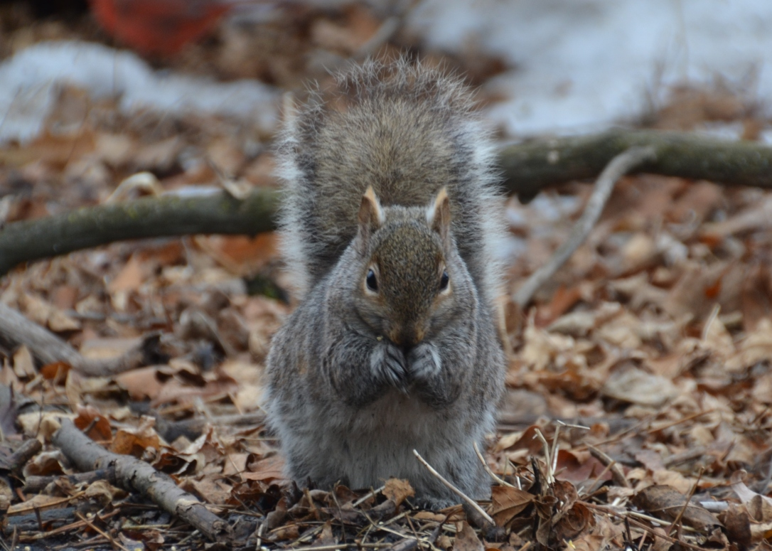 chubby squirrel, winter in chicago