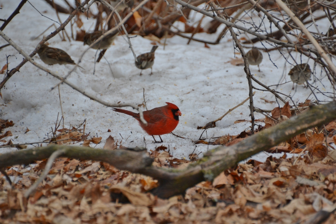 cardinal in snow, winter in chicago
