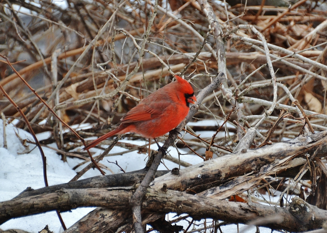 cardinal on branches, winter in chicago