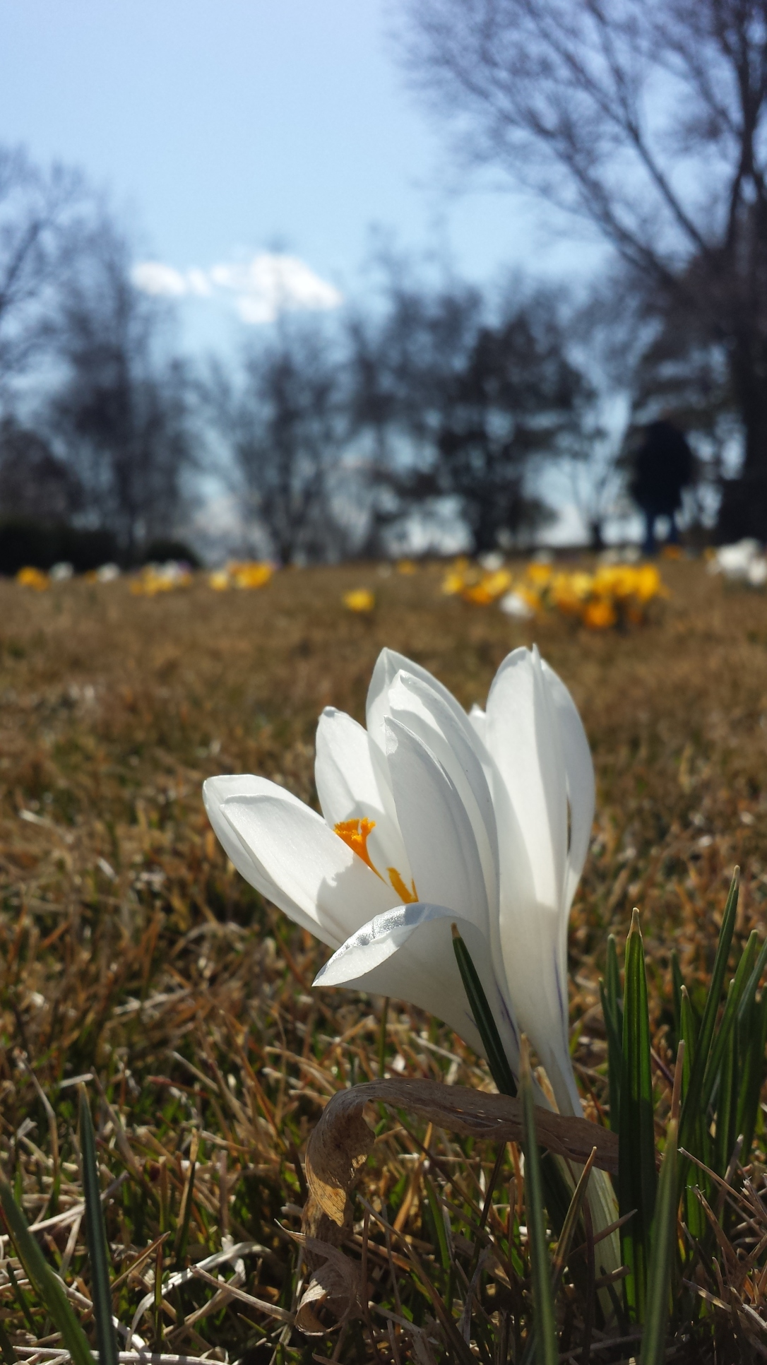 BotanicGarden single crocus