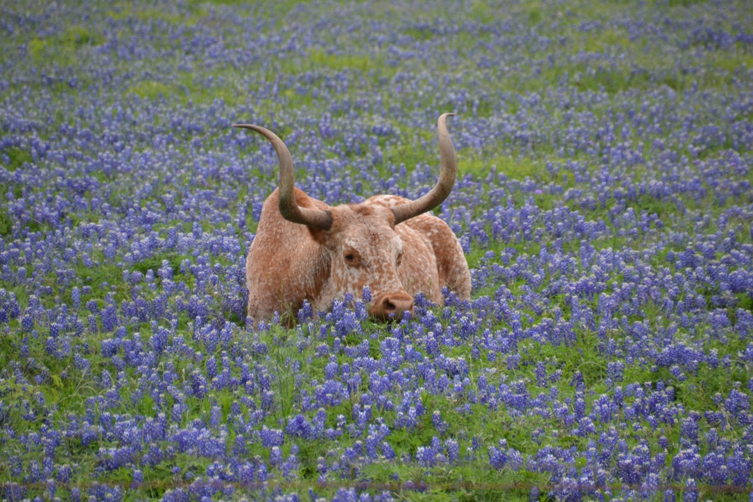 Texas longhorn sitting in bluebonnets